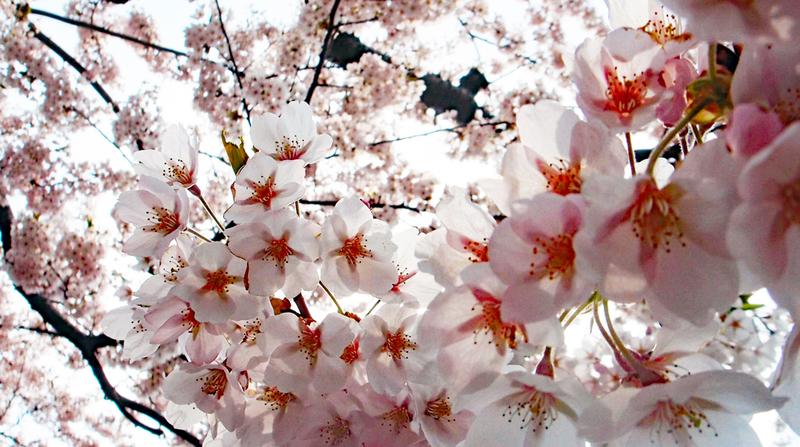 Sakura, Hakodate Park