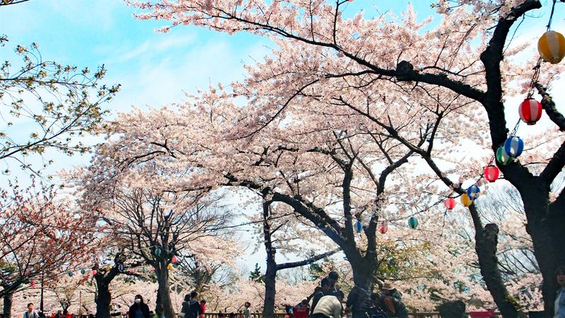 Sakura in Goryokaku Park Hokkaido