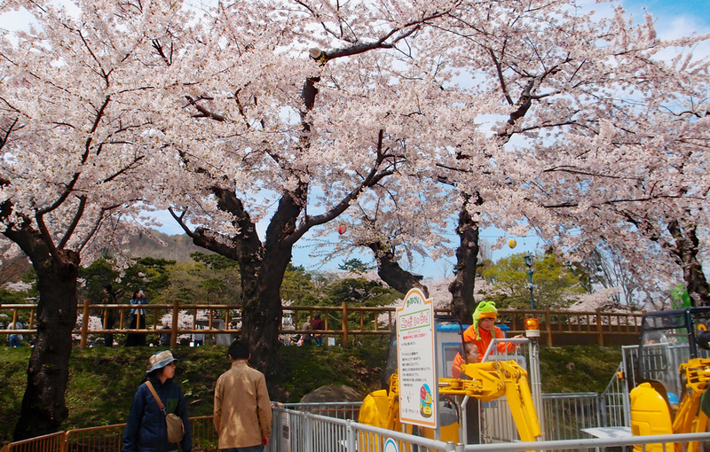 sakura cherry blossoms matsuri hakodate park kids activities theme park