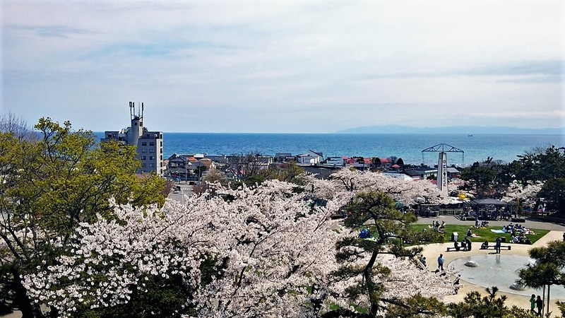 hakodate park view sakura cherry blossoms season