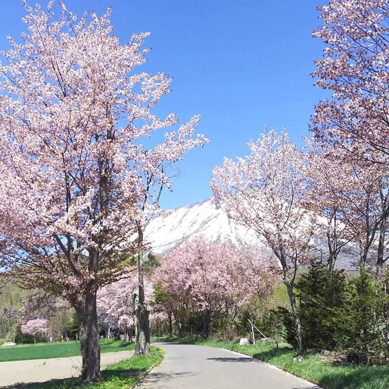 Sakura blossom at Makkari shrine.