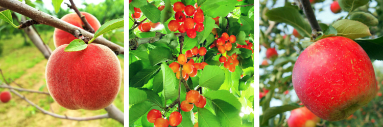 Fruit picking in Yoichi, Hokkaido