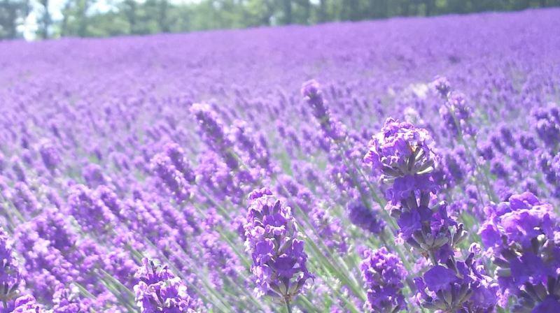 Lavender field in Tomita Farm