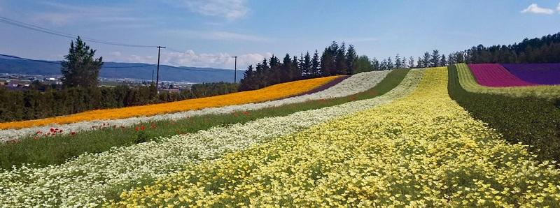 Irodori field at Tomita Farm