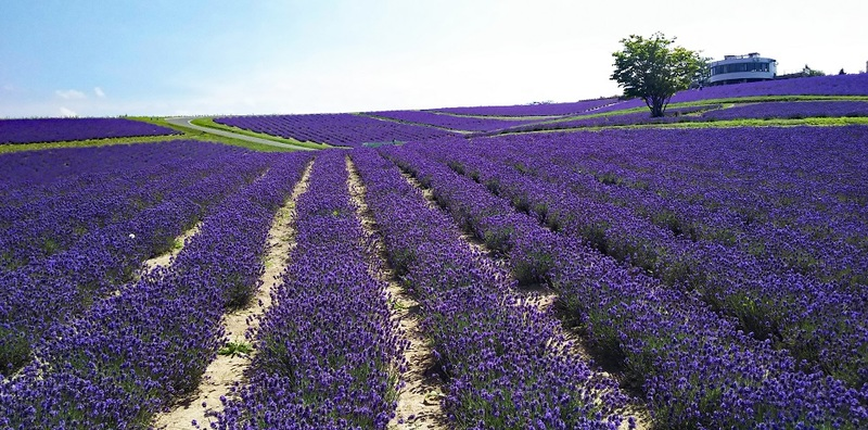 Lavender Field at Hinode Park