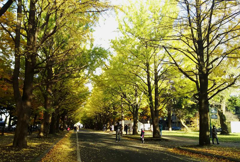 Hokkaido University Gingko Avenue
